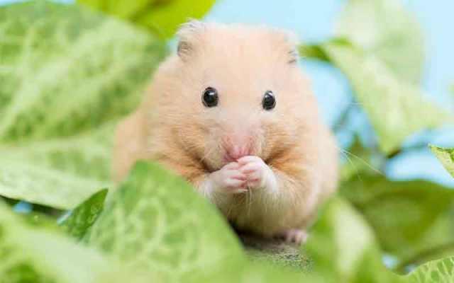 Dwarf Hamster Food List - Mealworm Treats