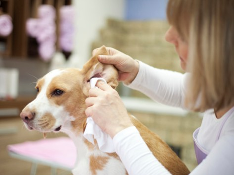 5 Tips for Preventing Ear Infections in Dogs