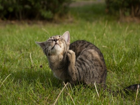 Botfly Infestation: How to Handle Warbles in Cats