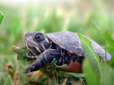 How Big Do Turtles Get?