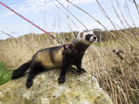 How to Leash Train and Walk Your Ferret