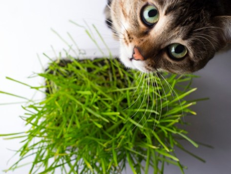 Is Catnip a Drug for Cats?
