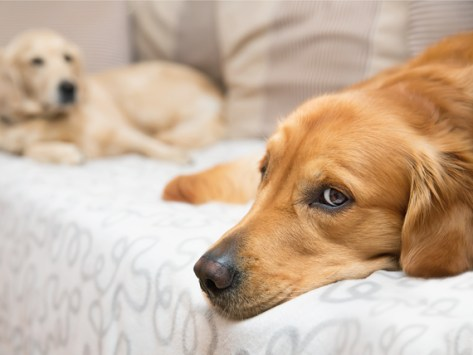 Melatonin for Dogs: Is It Safe?