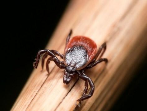 Tick Species Profiles: Deer Tick