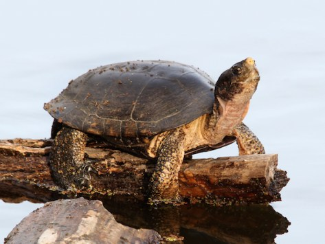 Turtle FAQs: What Kind of Turtle Do I Have and More
