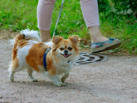 Why Do Small Dogs Lift Their Legs Higher to Pee?