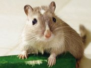 Mongolian hamster Information