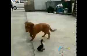 Dog and Hen funny