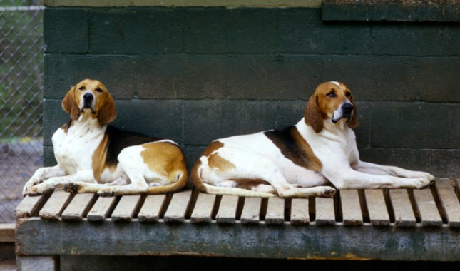 American Foxhound Breed Characteristics