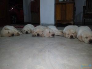 Veesha Kennels Labradors.jpg