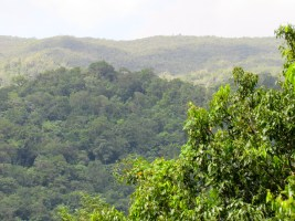 The thick rainforest of the John Crow Mountains in eastern Jamaica, from Ecclesdown Road in Portland.