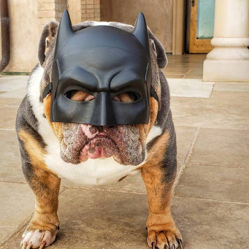 Batman Dog Halloween costume