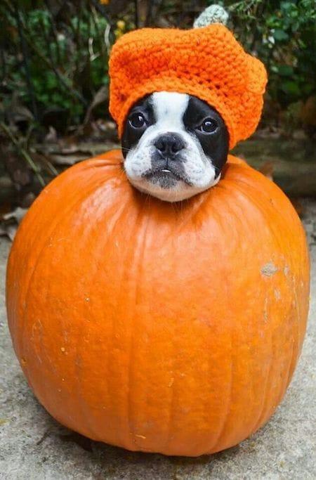 dog in a pumpkin Halloween costume