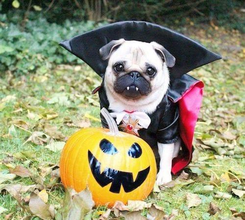 Vampire pug dog Halloween costume