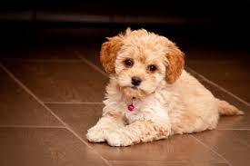 How to Train a Maltipoo not to bark