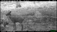 red deer_mucky fawn & mum [PHWR]