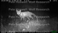 red fox (2) [PHWR]
