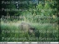 wild boar_adult [PHWR]