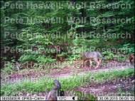wolf pups x 4 [PHWR]