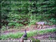 wolf pups x4 [PHWR]