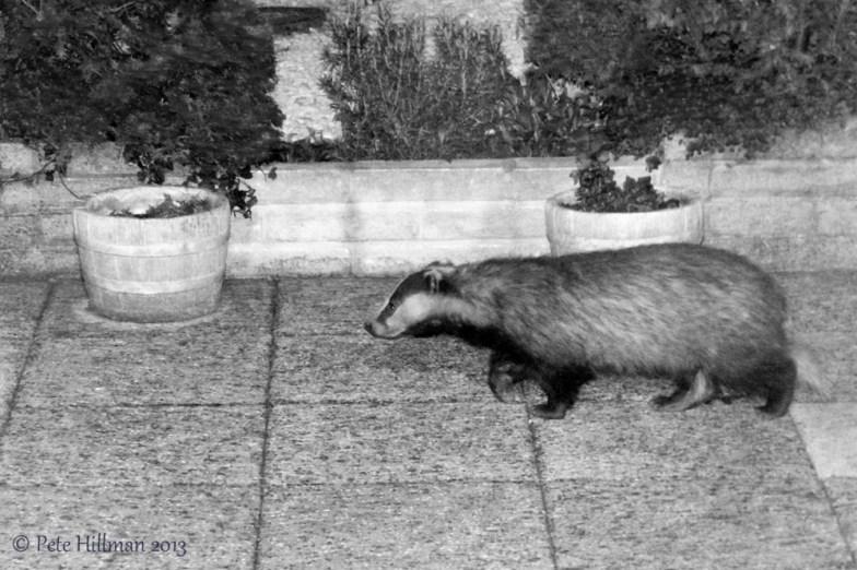 European Badger (Meles meles)