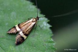 Longhorn Moth (Nemophora degeerella)