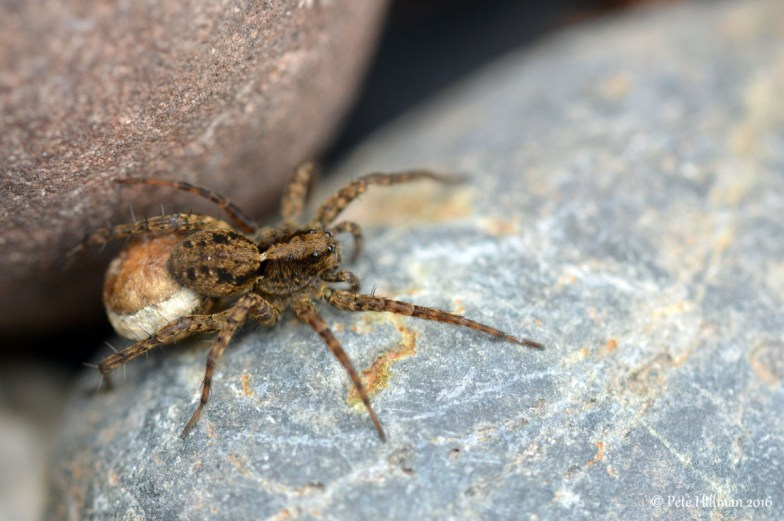 Spotted Wolf Spider (Pardosa amentata) female with egg sac