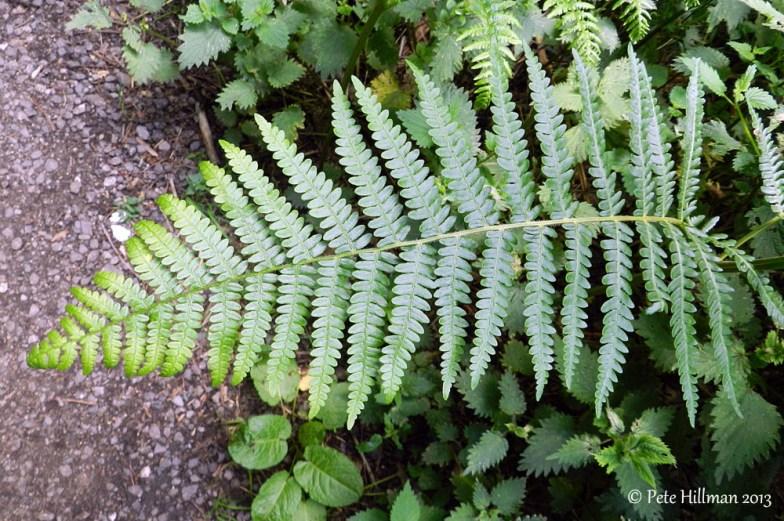 Common Bracken (Pteridium aquilinum)
