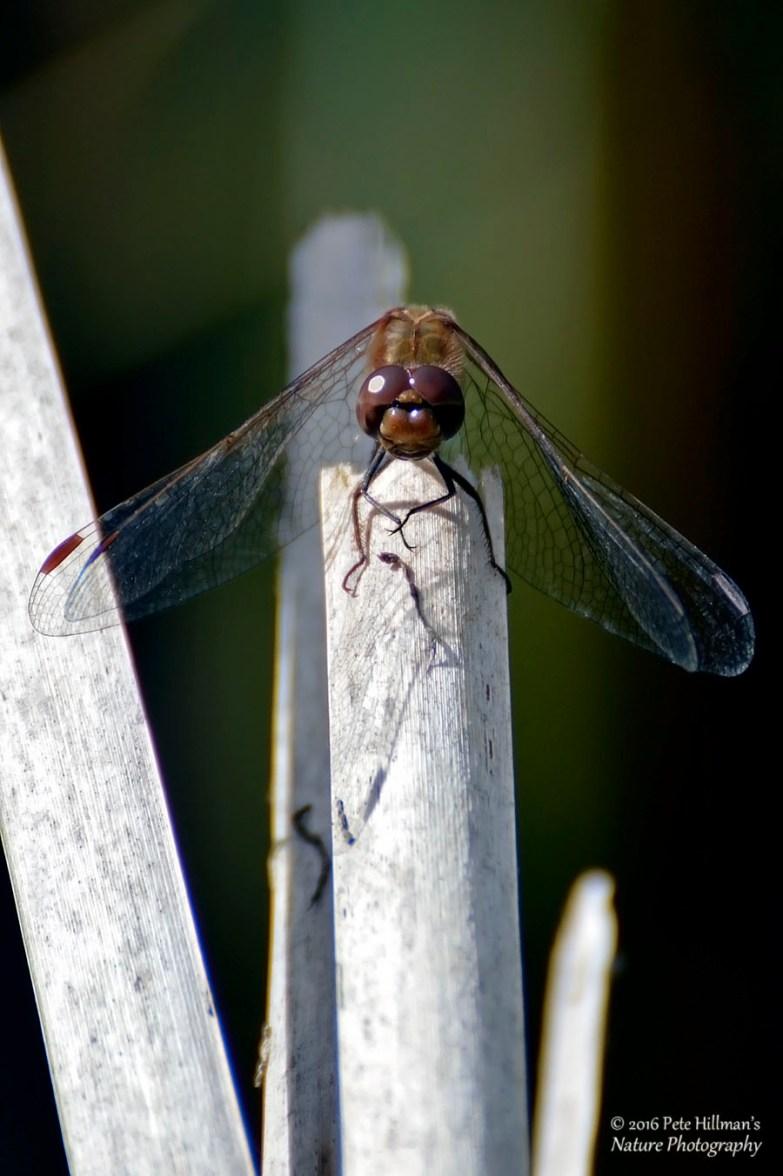 Common Darter (Sympetrum striolatum) male