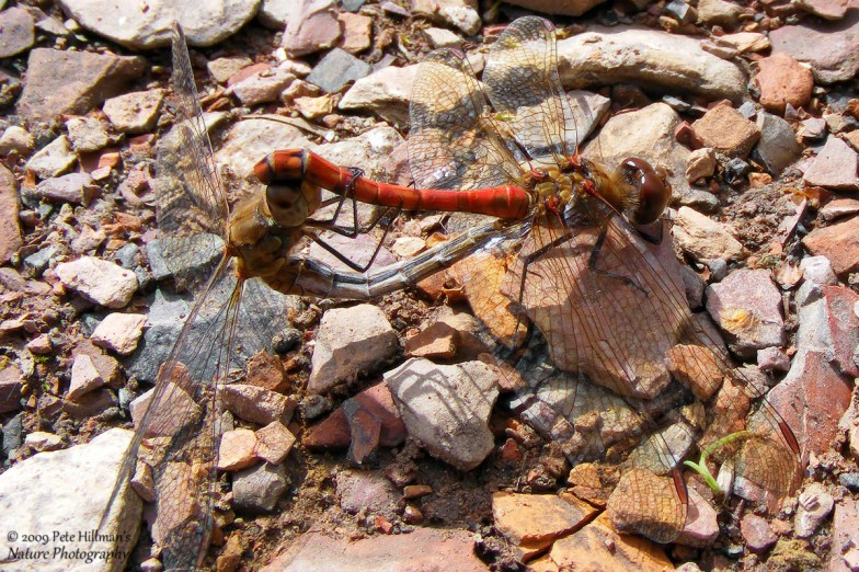 Common Darter (Sympetrum striolatum) male and female mating
