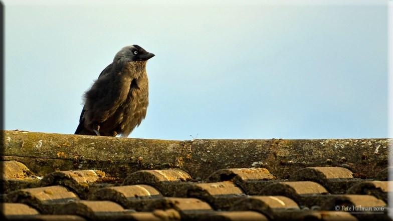 Jackdaw (Corvus monedula) juvenile