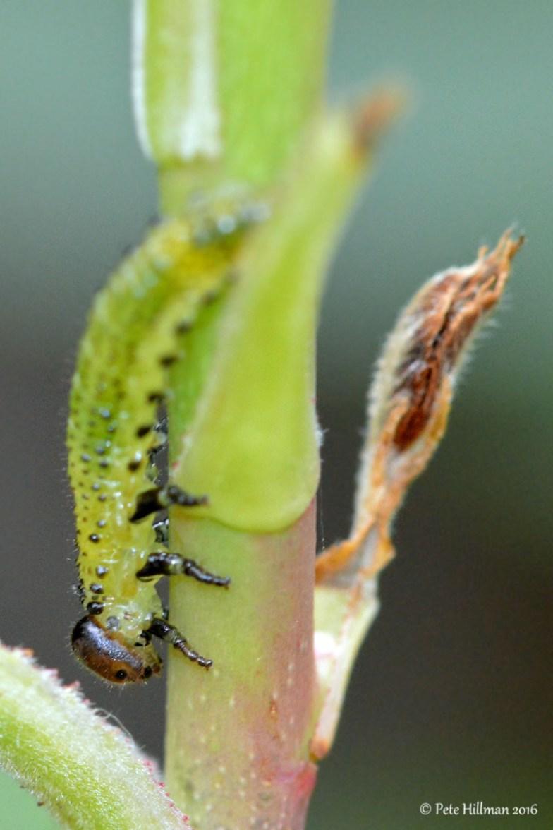 Large Rose Sawfly (Arge pagana) larva