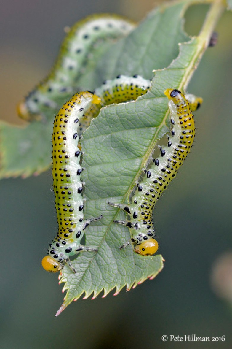 Large Rose Sawfly (Arge pagana) later stage