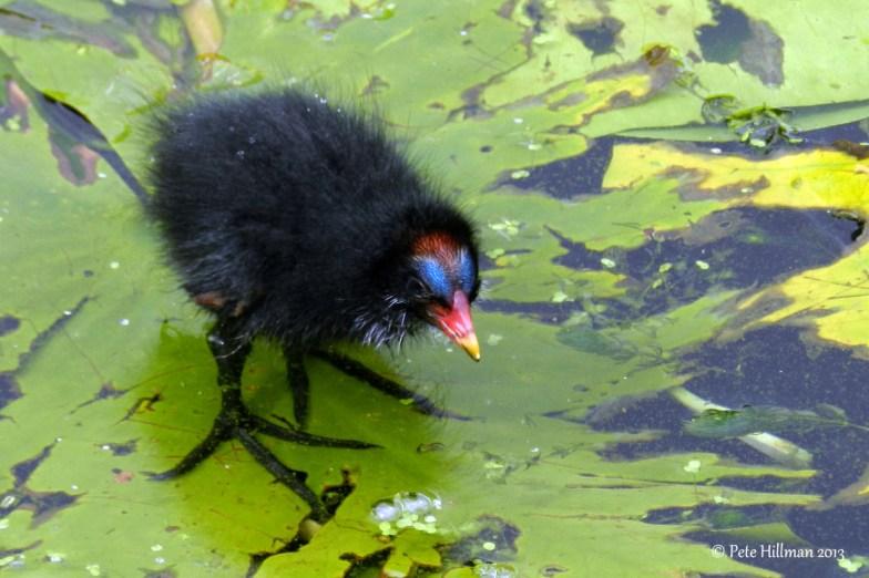 Moorhen (Gallinula chloropus) chick