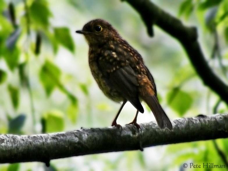 Robin (Erithacus rubecula) juvenile