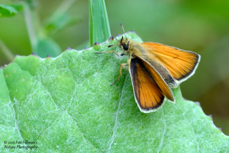 Small Skipper (Thymelicus sylvestris) female