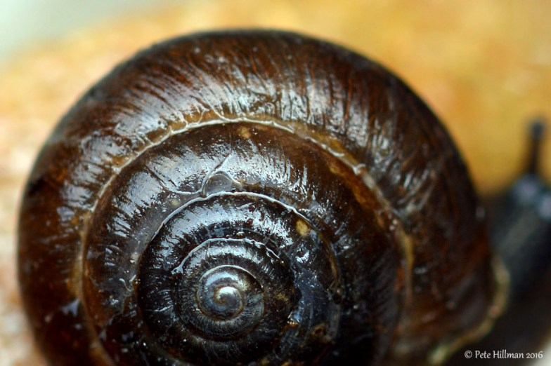 Strawberry Snail (Trochulus striolatus)