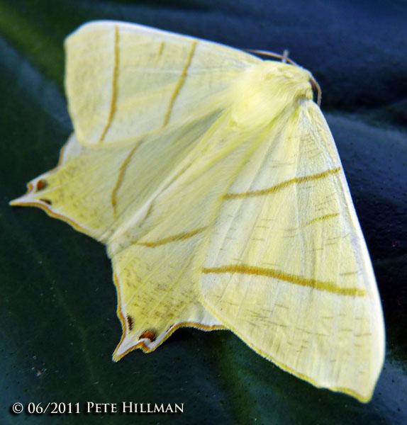 Swallow-tailed Moth (Ourapteryx sambucaria)