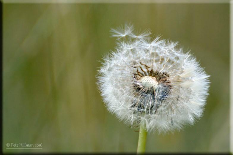 Dandelion Taraxacum officinale seedhead