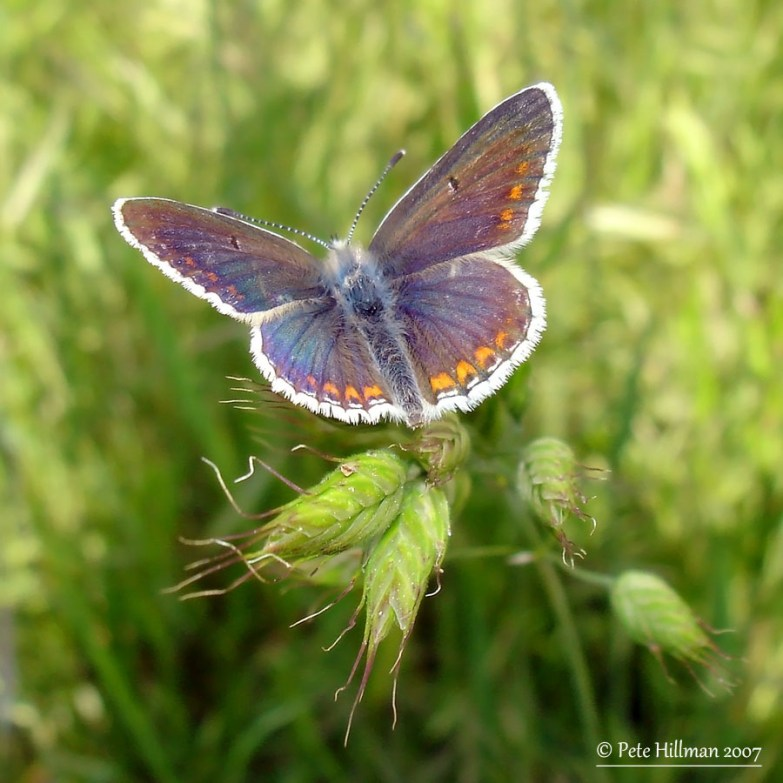 Common Blue (Polyommatus icarus) female