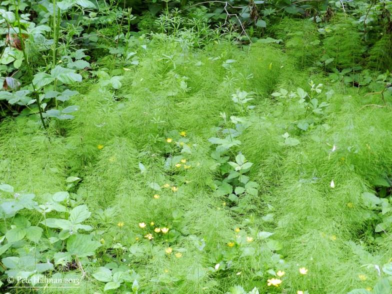 Wood Horsetail (Equisetum sylvaticum)
