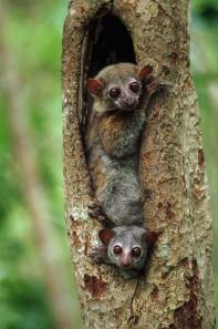 Sportive lemurs look out from the safety of their hollowed out tree. Photo by conservation and wildlife photographer Pete Oxford.