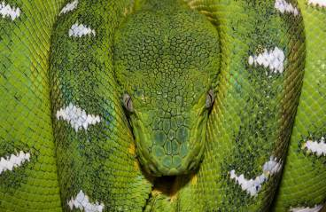 A close up picture of an emerald tree boa resting. Photo by conservation and wildlife photographer Pete Oxford.