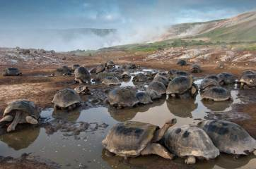 A large number of Galapagos giant tortoises converge in a crater. Photo by conservation and wildlife photographer Pete Oxford.
