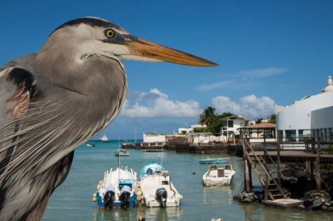 A great blue heron overlooks Puerto Ayora in the Galapagos Islands. Photograph by conservation and travel photographer Pete Oxford.