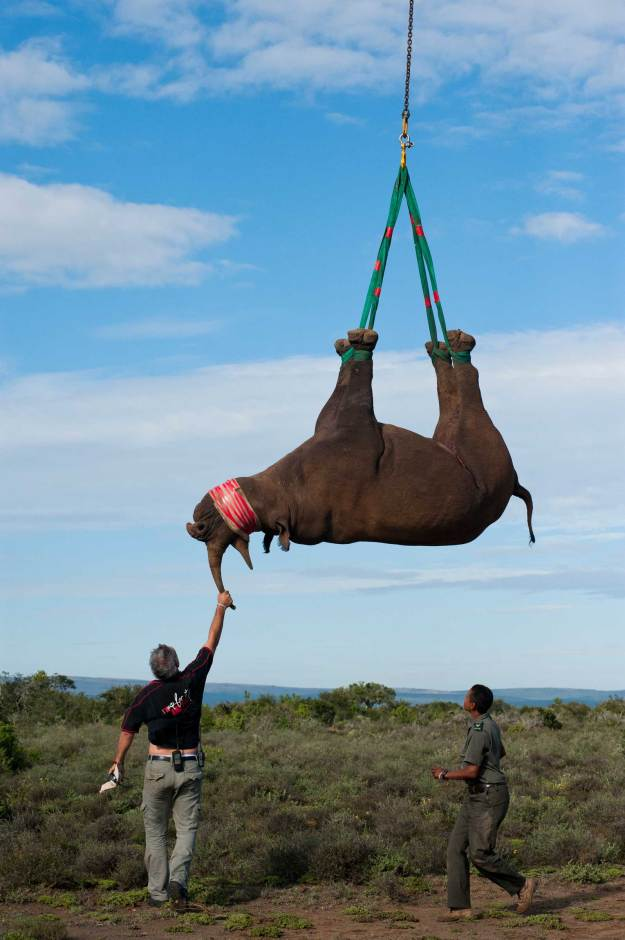 A black rhinoceros is darted and slung fro a helicopter for relocation. Photograph by conservation photographer Pete Oxford.