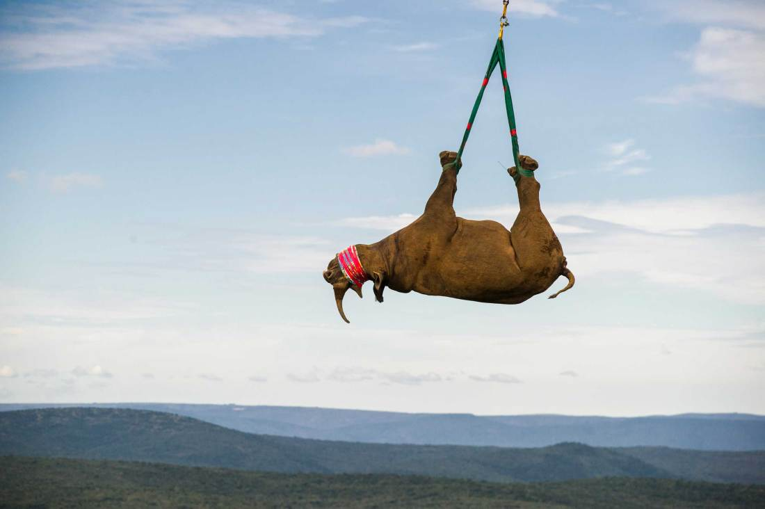A black rhinoceros is slung from a helicopter for relocation. Photo by conservation photographer Pete Oxford.