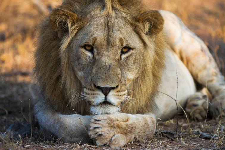 A lion sits with his head resting on his crossed paws while looking into the camera. Photo by conservation and wildlife photographer Pete Oxford.