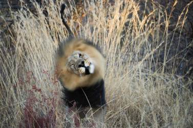 A lion shakes his mane while standing in tall grass. Photo by conservation and wildlife photographer Pete Oxford.