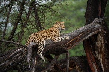 A leopard is shown resting on a tree. Photo by wildlife photographer and conservation photographer Pete Oxford.